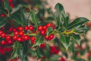 Weihnachten im Mittelalter: Weihnachtsgrün statt Tannenbaum (Image by Susanne Jutzeler, suju-foto from Pixabay CC0)